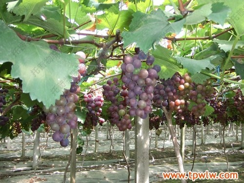 现代葡萄园无线监测系统和智能灌溉施肥系统的建设